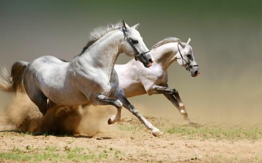 amazing_white_horses_